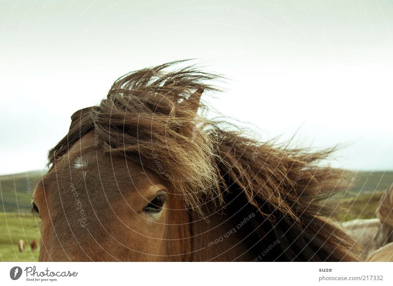Speed like the wind Weather Wind Animal Wild animal Horse 1 Authentic Friendliness Beautiful Brown Iceland Pony Mane Horse's head Animalistic Colour photo