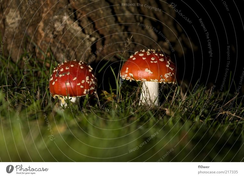 FLY agaric Friendship 2 Human being Nature Earth Tree Grass Dark Large Small Red White Amanita mushroom Point Dim Tree bark Mushroom Ground Size Size difference