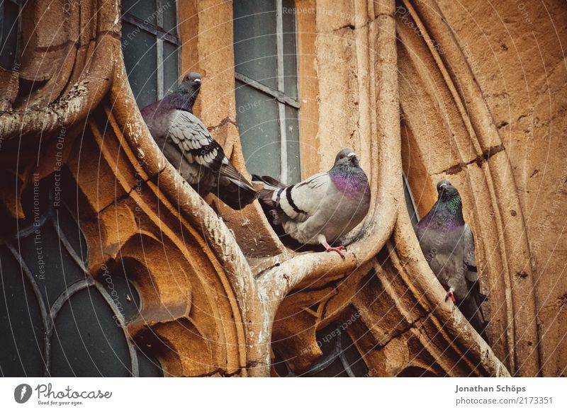 Pigeons at a church window in Oxford Downtown Old town Animal Bird 3 Esthetic England Historic Historic Buildings Church Church window English Great Britain Sit