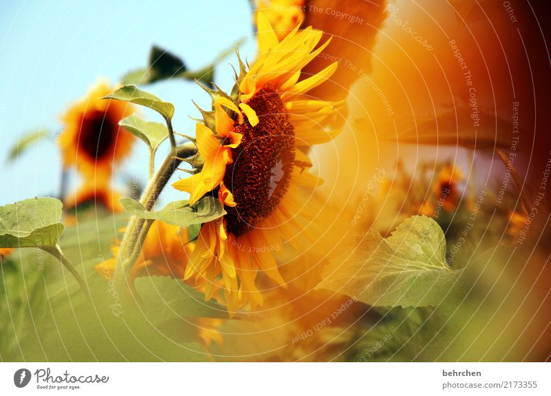 sun salutation Nature Plant Sky Sun Summer Beautiful weather Flower Leaf Blossom Sunflower Garden Park Meadow Field Blossoming Fragrance Growth Power Hope