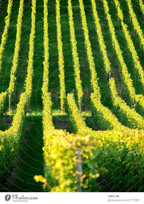 line by line Landscape Beautiful weather Agricultural crop Field Vineyard Infinity Yellow Gold Green Grape harvest Rheingau Harvest Slope Autumn Deserted