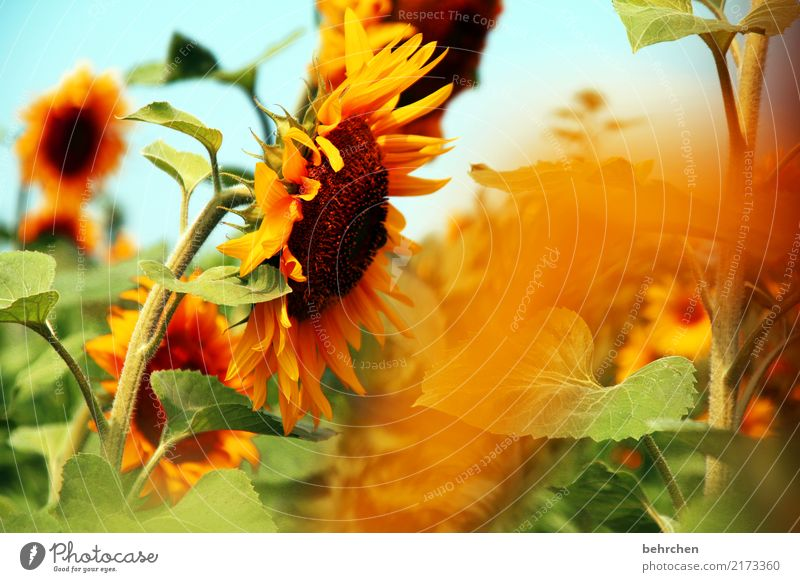 Nature Plant Summer Beautiful Sun Flower Leaf Warmth Yellow Blossom Orange Illuminate Field Fantastic Beautiful weather Blossoming