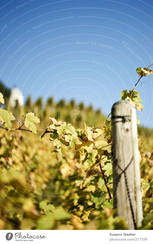 Autumn Garden Field Fresh Vine Hill Harvest Beautiful weather Saxony Vineyard Grape harvest Agriculture Autumnal Wooden stake Cloudless sky Autumnal colours