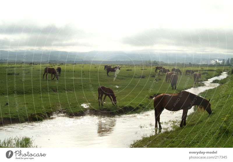 Horses in the morning light Nature Landscape Animal Earth Summer Fog Grass Meadow Brook horse pasture Group of animals Herd Relaxation Dream Positive Wild Green