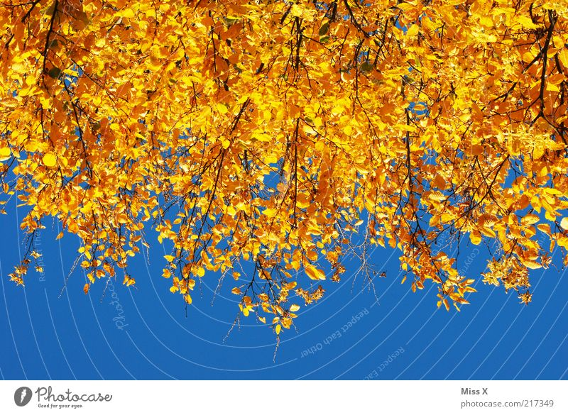 Autumn in Gold Nature Cloudless sky Beautiful weather Tree Leaf Forest To dry up Yellow Autumn leaves Autumnal Indian Summer Colour photo Multicoloured