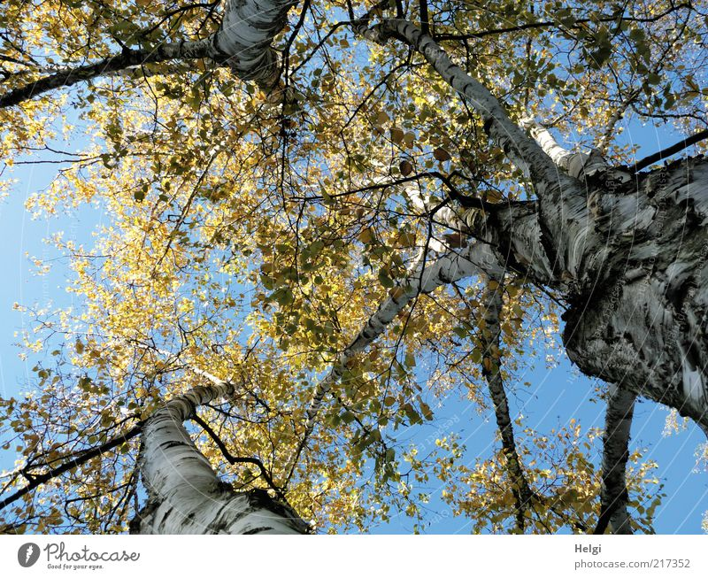 three birch... Environment Nature Plant Sky Cloudless sky Autumn Beautiful weather Flower Leaf Birch tree Birch leaves Autumnal colours Tree trunk Tree bark