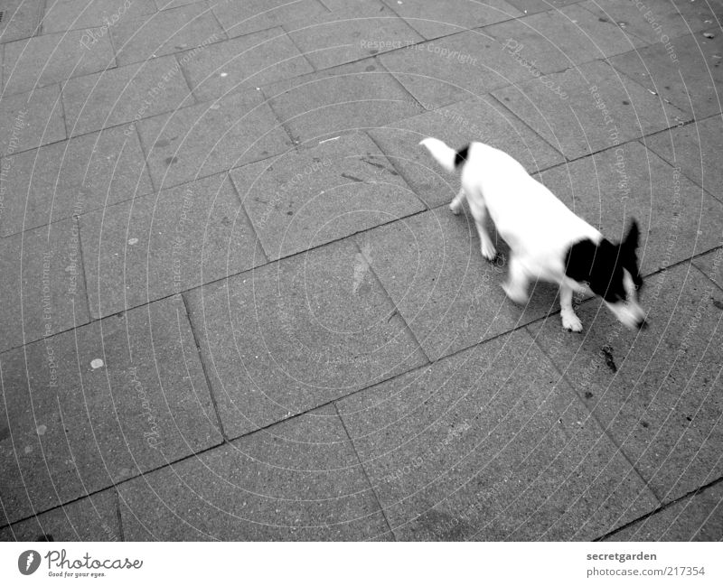 White Black Animal Gray Dog Walking Time Running Pelt Sidewalk Pet Haste Snapshot In transit Single-minded