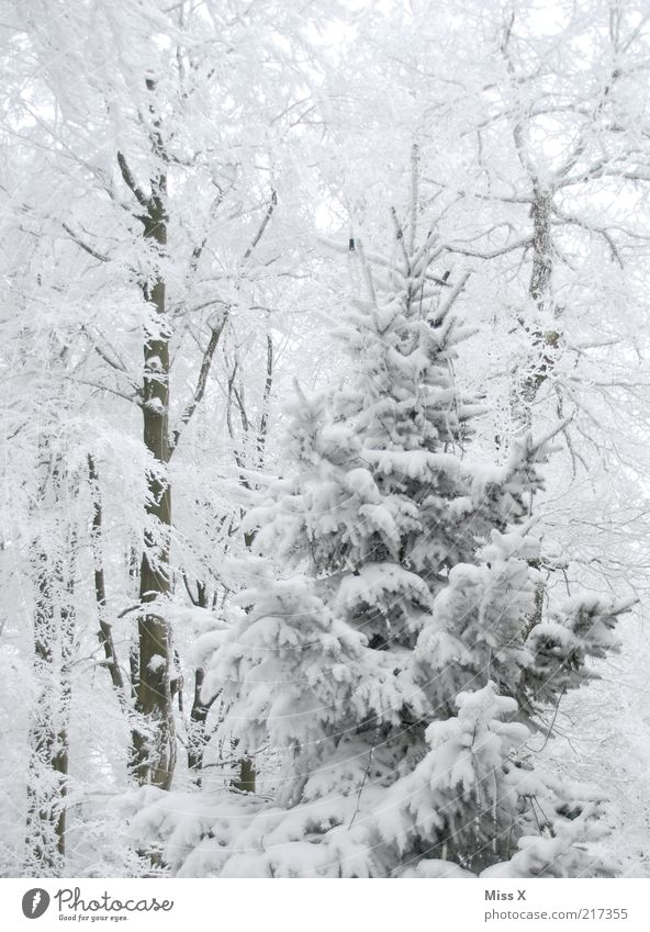 Nature White Tree Winter Forest Cold Environment Snow Weather Climate Christmas tree Fir tree Snowscape Plant Mixed forest