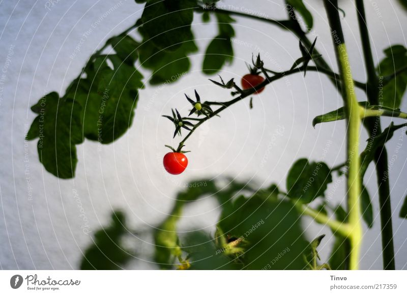 Nature White Green Plant Red Leaf Fruit Round Stalk Vegetable Delicious Harvest Tomato Juicy Environment Nutrition
