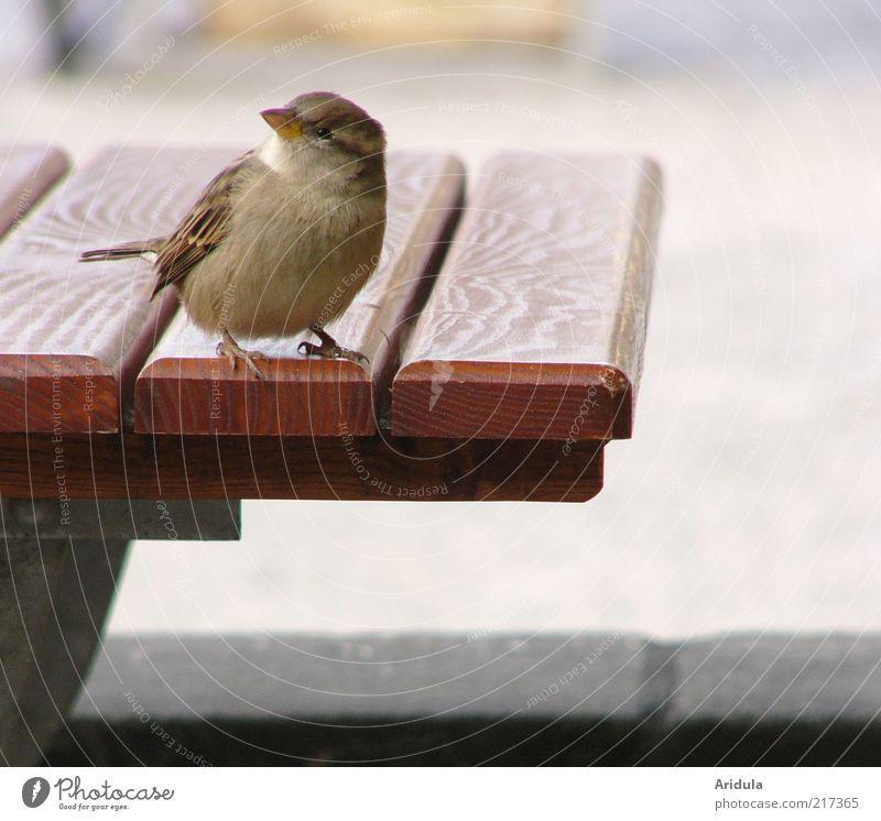 Animal Wood Gray Contentment Bird Wait Small Free Sit Table Empty Soft Wing Observe Idyll Curiosity