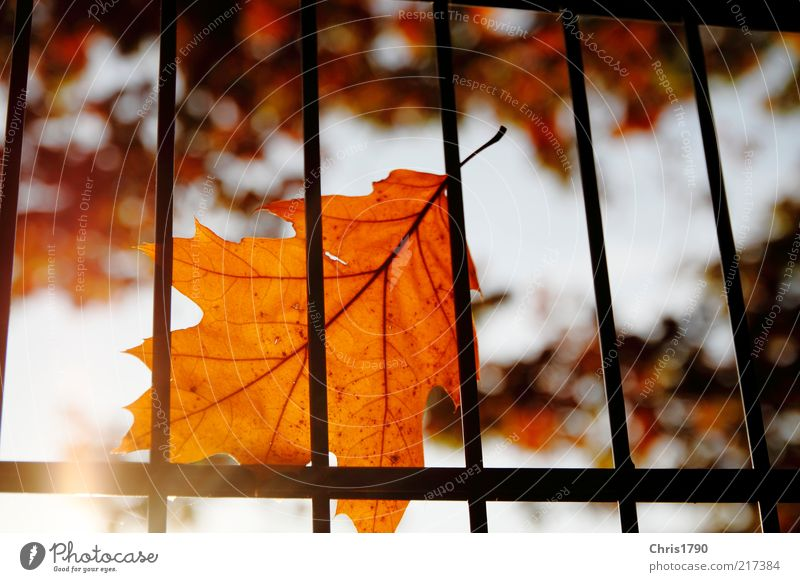 Autumn prison II Nature Plant Sky Sun Sunlight Beautiful weather Tree Leaf Fence Grating Esthetic Bright Natural Gold Red Emotions Moody Optimism Calm Dream