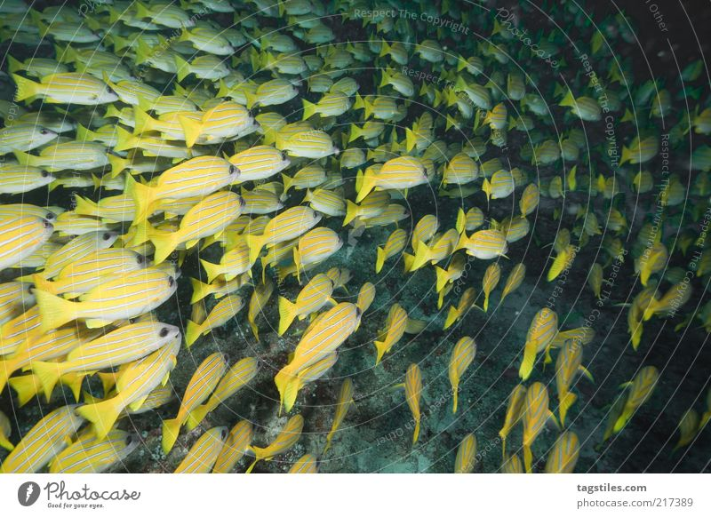 At night Fish Shoal of fish Flock Yellow Dive Night Under Water Maldives Cuba Caribbean Sea Lesser Antilles Vacation & Travel Travel photography Discover Calm