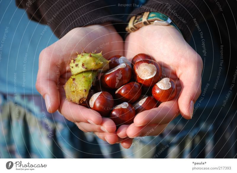 A handful of autumn Hand Fingers 1 Human being Nature Autumn Beautiful weather Chestnut Cloth Wristwatch Heart Touch Discover To hold on Natural Blue Brown