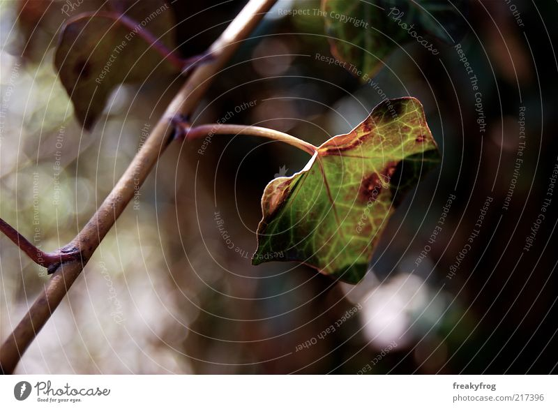 Nature Green Leaf Life Autumn Brown Change Twig Ivy Autumnal Early fall