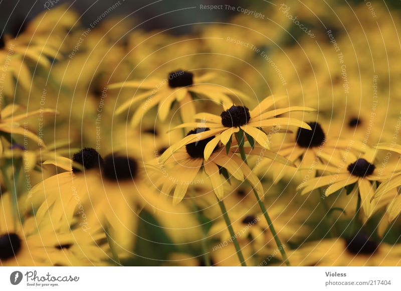 Nature Flower Plant Yellow Autumn Natural Fragrance Many Rudbeckia