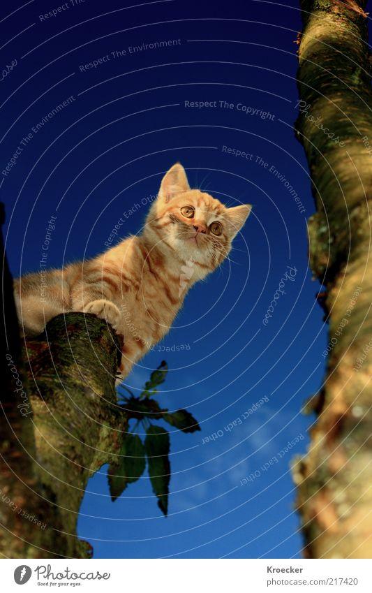 Sky Blue Tree Loneliness Animal Above Think Cat Brown Orange Brave Tree trunk Beautiful weather Pet Wisdom Smart