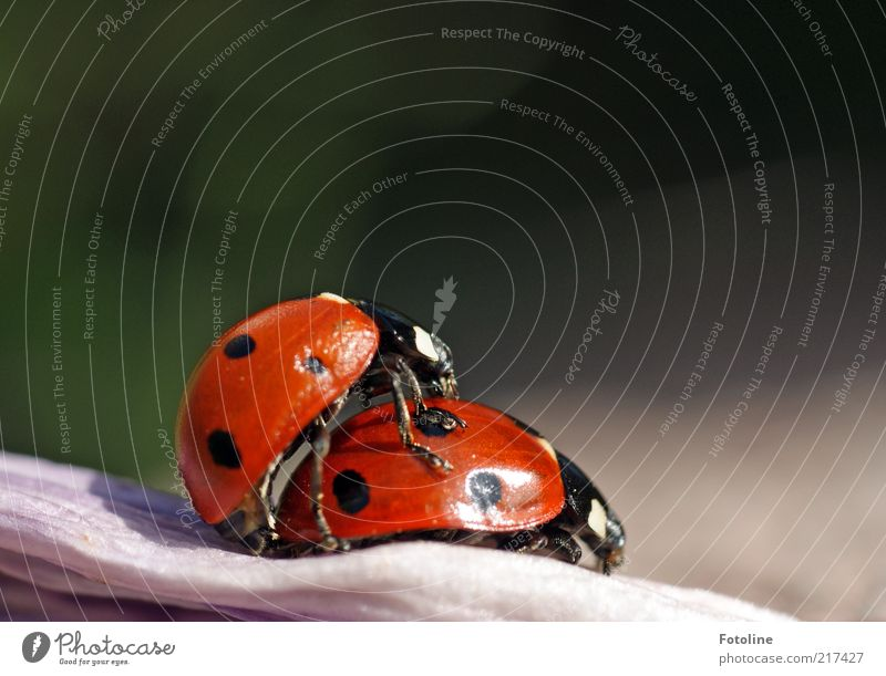 For Miss X and sylvi.bechle Environment Nature Animal Summer Wild animal Beetle 2 Pair of animals Bright Natural Red Black Insect Ladybird Colour photo