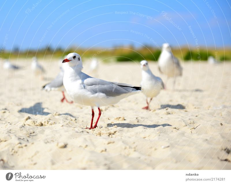 white gull walks along the sandy beach Freedom Summer Sun Beach Ocean Nature Landscape Animal Sand Sky Coast Bird Group of animals Natural Wild Blue Red Black