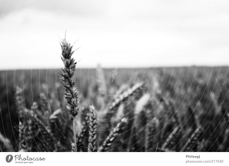 Corn Environment Nature Plant Summer Field Poverty Discover Freedom Infinity Black & white photo Exterior shot Close-up Abstract Deserted Morning Day Light