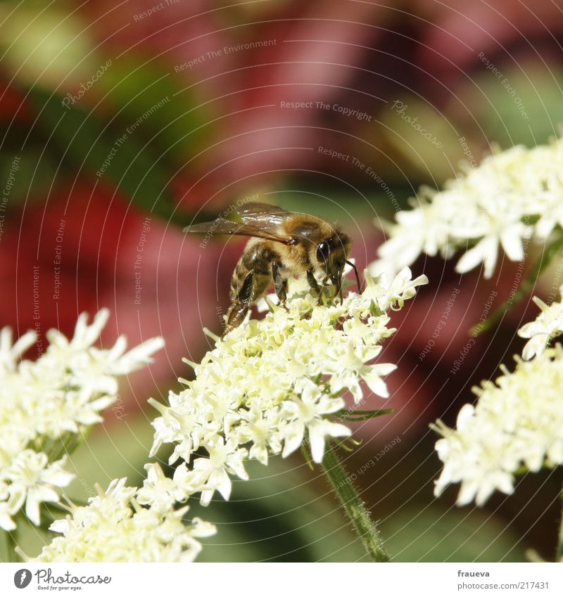 Bees and flowers Nature Summer Plant Flower Animal Farm animal Wing 1 Crawl White Collection Diligent Nectar Colour photo Multicoloured Exterior shot Close-up