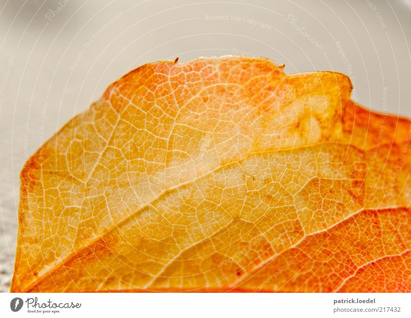 Nature Old Plant Leaf Yellow Autumn Background picture Gold Esthetic Transience Partially visible Section of image Rachis Autumn leaves Limp