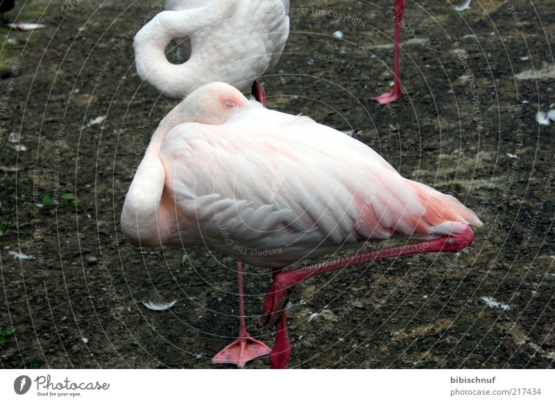 Nature White Animal Bird Pink Sleep Feather Headless Flamingo One-legged