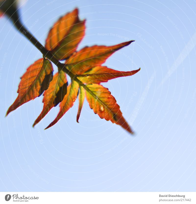 Nature Blue Plant Leaf Autumn Air Orange Beautiful weather Seasons Diagonal Twig Autumn leaves Cloudless sky Blue sky Autumnal Autumnal colours