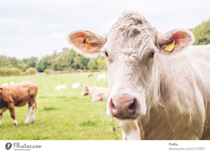 muuuh Vacation & Travel Environment Nature Animal Summer Meadow Field Farm animal Cow Animal face 1 Herd Friendliness Natural Green White Moody Vegetarian diet