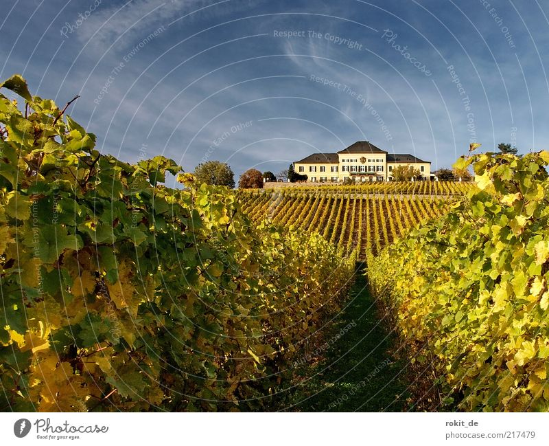 Nature Sky Green Leaf Yellow Landscape Field Gold Vine Long Castle Rhineland-Palatinate Plant Parallel Bunch of grapes Tourist Attraction