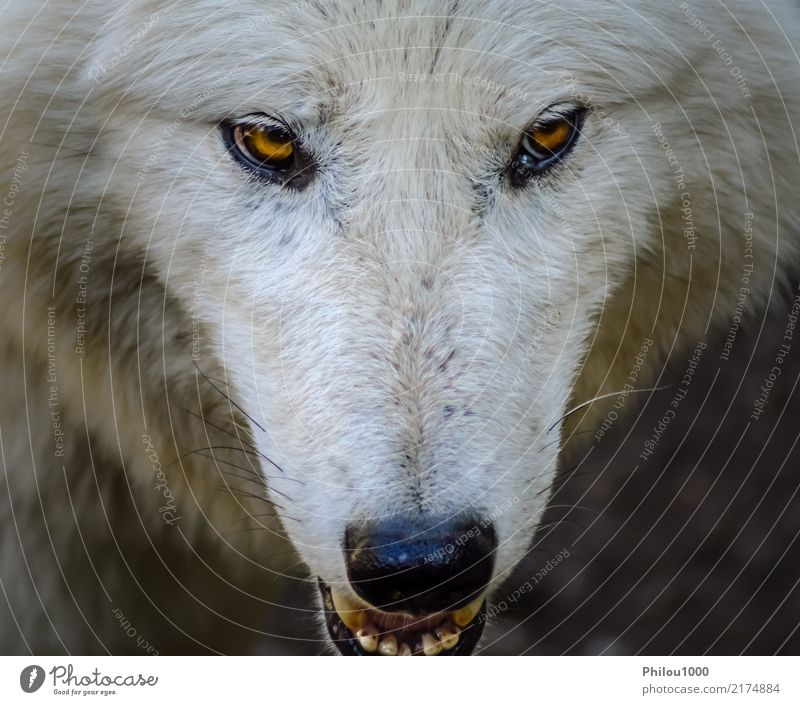Head of a white wolf Face Nature Animal Wild animal Dog Zoo 1 Looking Aggression Natural White Dangerous background canino Carnivore Living thing danger Mammal