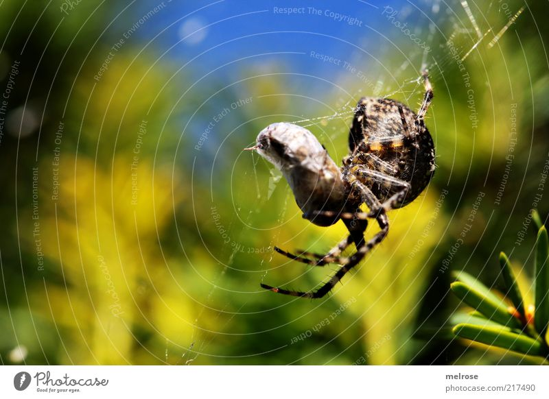 coconized Nature Sky Beautiful weather Bushes Animal Spider 1 To feed Hang Hunting Crawl Natural Blue Brown Yellow Green Colour photo Exterior shot Close-up