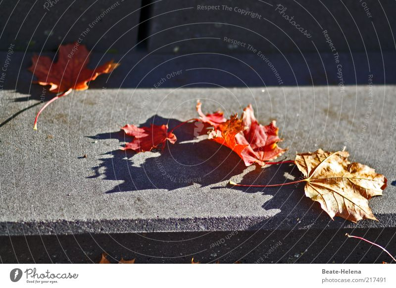 Autumn is approaching step by step Nature Beautiful weather Tree Leaf Stairs Lanes & trails Lie Old Esthetic Dry Gray Red Climate Colour photo Copy Space right