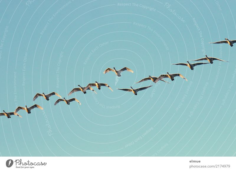 12.50 Whooper swans Nature Cloudless sky Autumn Island Iceland Wild animal Swan Whooper Swan Flock Flying Esthetic Free Together Infinity
