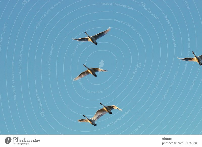 4.75 Whooper swans Animal Air Cloudless sky Sunlight Autumn Beautiful weather Island Iceland Wild animal Swan Whooper Swan Group of animals Flying Esthetic