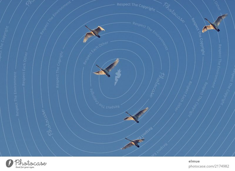 5,00 Whooper swans Nature Cloudless sky Autumn Beautiful weather Island Iceland Wild animal Swan Whooper Swan Flying Esthetic Elegant Together Infinity Above