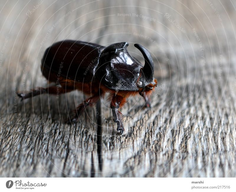 Nature Animal Brown Disgust Antlers Beetle Wood grain Insect Texture of wood European rhinoceros beetle Leg of a beetle Wood backing
