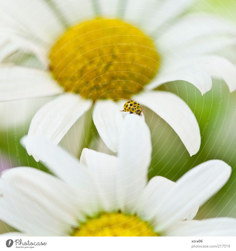 Summer memory Environment Nature Plant Animal Flower Blossom Meadow 1 Yellow Ladybird Daisy Blossom leave Colour photo Exterior shot Close-up Detail