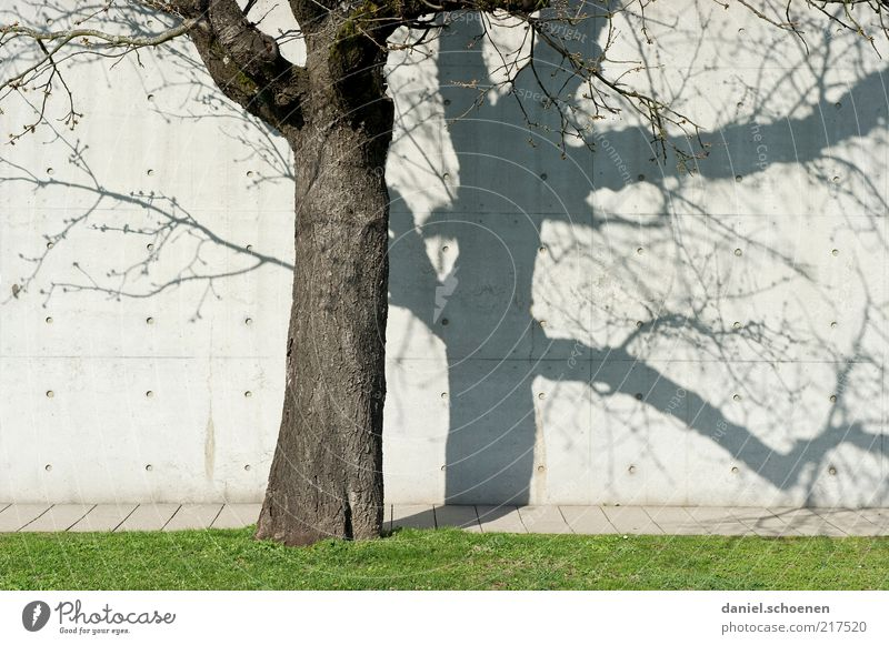 autumn tree Autumn Tree Wall (barrier) Wall (building) Gray White Concrete Concrete wall Light Shadow Silhouette Tree trunk Lawn Sun Beautiful weather