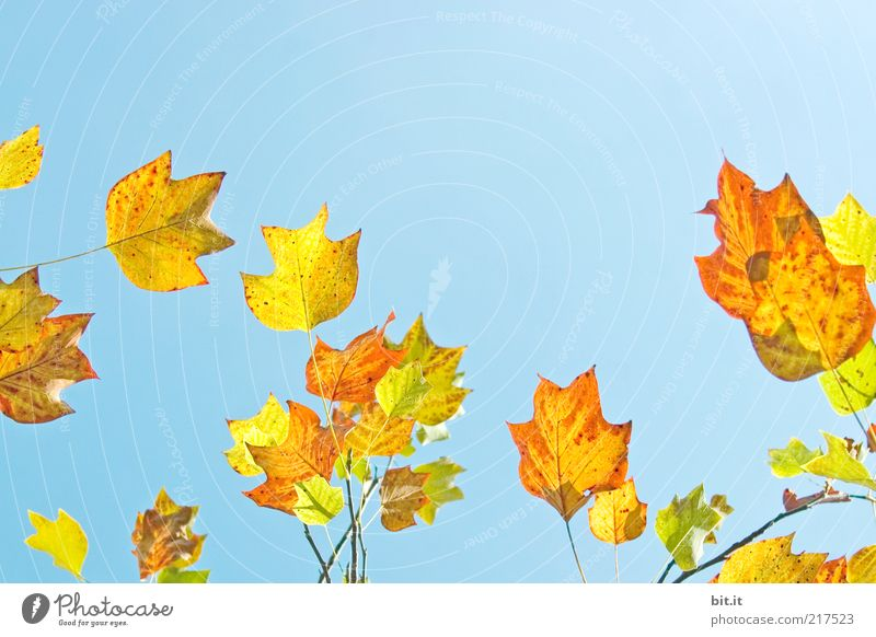 Nature Sun Blue Plant Leaf Yellow Colour Autumn Air Weather Gold Time Growth Change Transience Dry