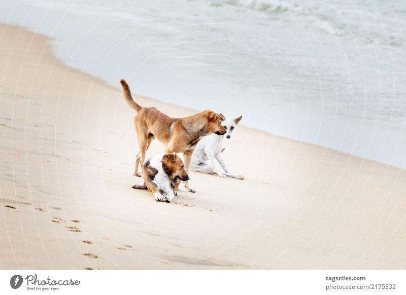 Playing dogs at the beach, Sri Lanka, Asia Marawila Dog Vacation & Travel Traveling Idyll Freedom liberty Card Tourism Tourist Tourist Attraction Sunbeam Summer
