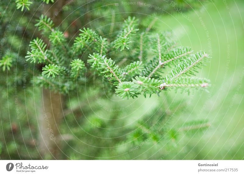 always green Environment Nature Winter Plant Tree Green Fir tree Fir branch Fir needle Coniferous trees Colour photo Subdued colour Exterior shot