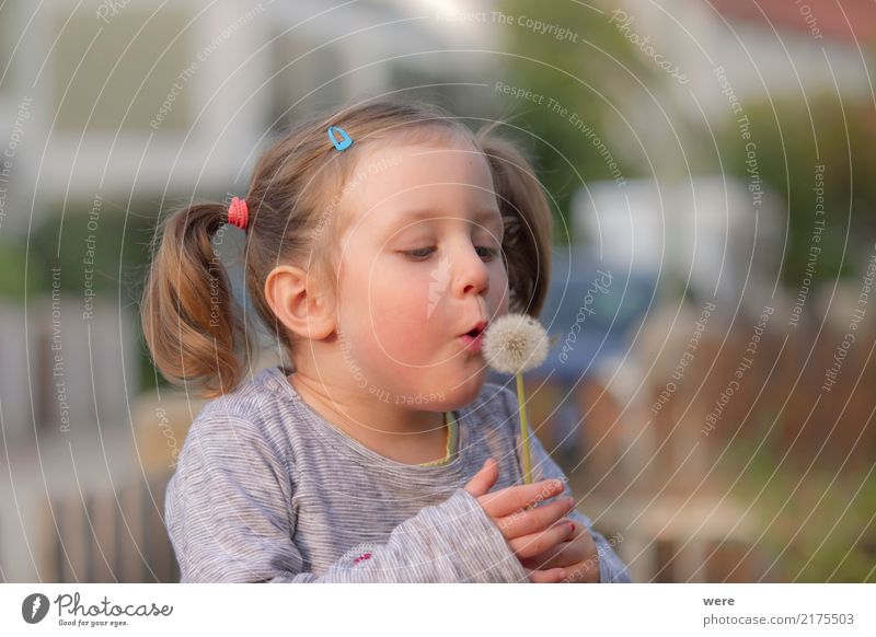 A little girl blows the umbrellas from a dandelion flower Playing Child Human being Feminine Toddler Girl 1 3 - 8 years Infancy Nature Plant Flower Dream Joy