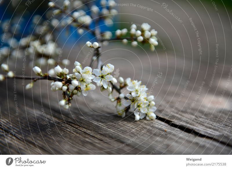 herald of spring Harmonious Well-being Contentment Senses Bright Compassion Peaceful Goodness Spring Blossom Gift Calm Meditation Fragrance Flower Wood