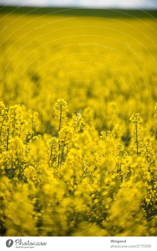 mega yellow Field Infinity Yellow Sustainability Nature Canola Growth Agriculture Spring Blossoming Fragrance Honey Landscape Sun Organic produce Deserted