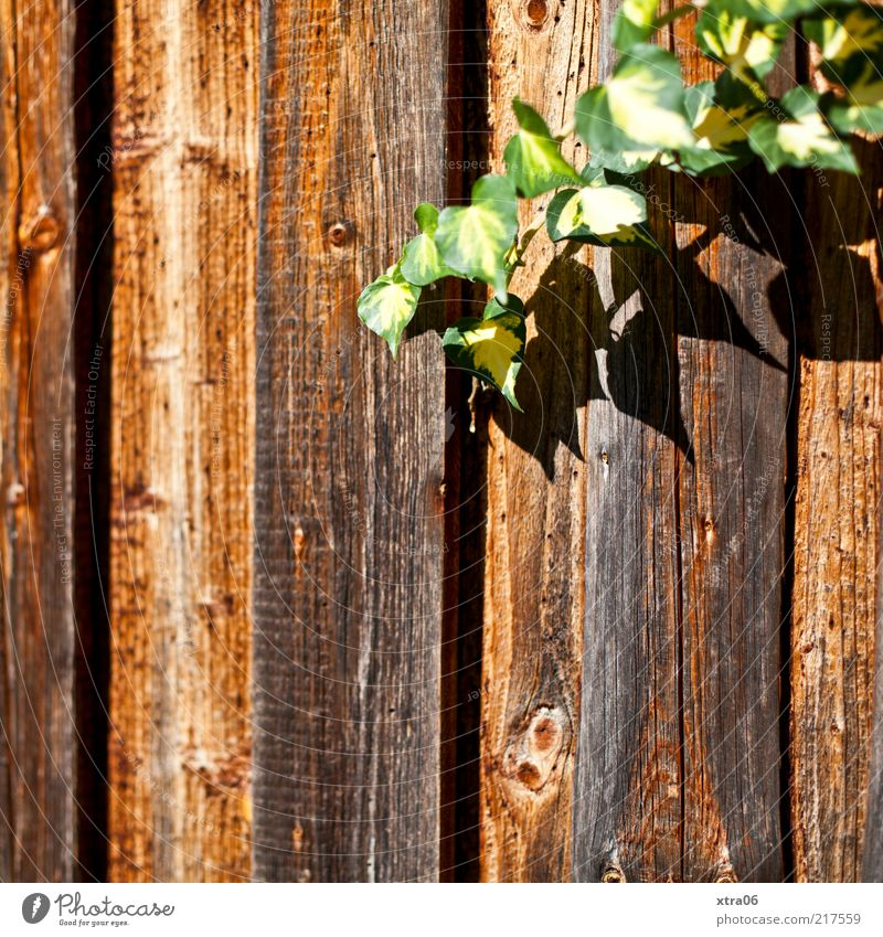 Sunny Autumn Nature Plant Leaf Foliage plant Brown Green Creeper Wood Fence Wooden fence Colour photo Exterior shot Ivy Tendril Wooden board Deserted