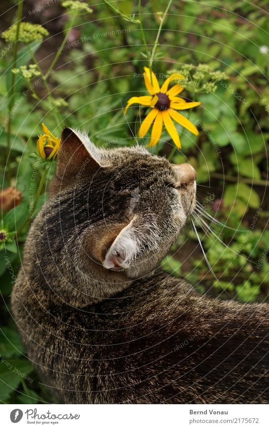 cat's happiness Happy Freedom Nature Animal Flower Grass Meadow Pelt Pet Cat Above Brown Yellow Green Domestic cat Tiger skin pattern Head Ear Odor Look back