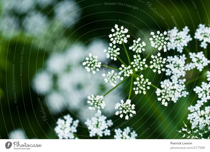 These photographs Environment Nature Plant Summer Weather Flower Blossom Foliage plant Wild plant Meadow To enjoy Apiaceae Umbellifer White Beautiful Green