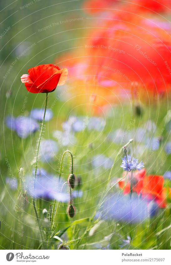 #A# Poppy Field II Environment Nature Plant Flower Grass Esthetic Poppy blossom Poppy field Red Blossoming Green pastures Meadow Meadow flower Colour photo