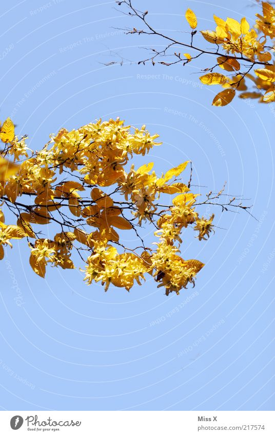 Nature Tree Leaf Yellow Autumn Gold To fall Branch Beautiful weather Blue sky Autumn leaves Twigs and branches Beech tree Autumnal To dry up Cloudless sky