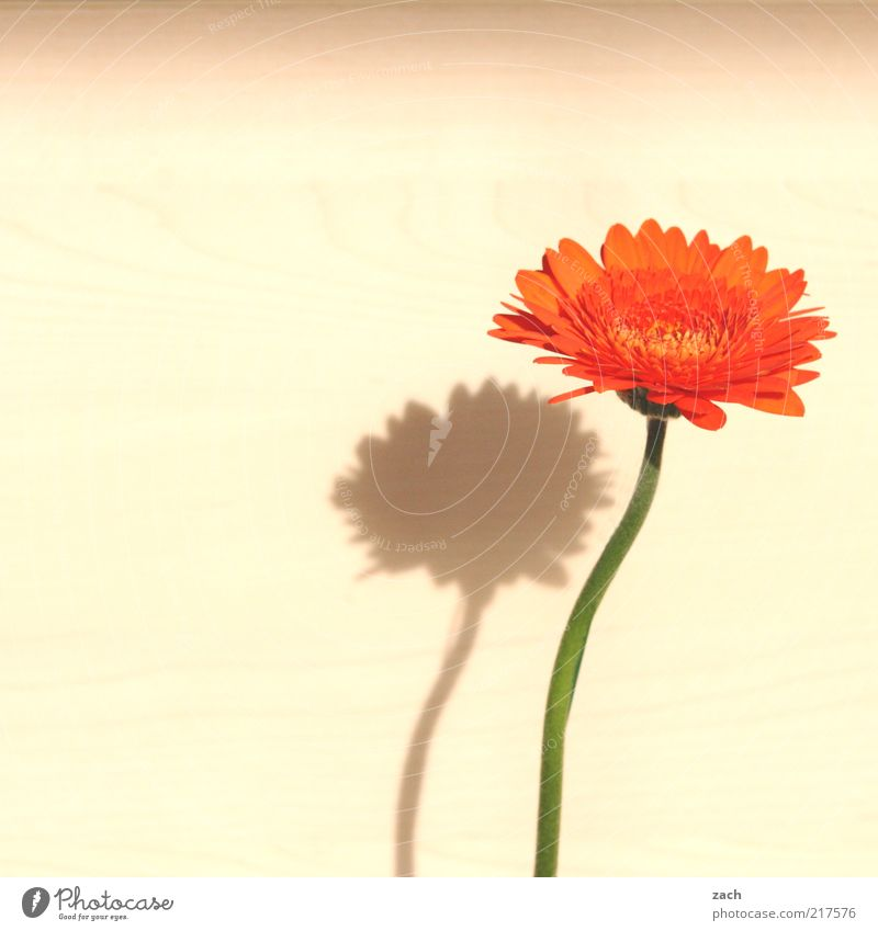 Delicate Plant Flower Blossom Gerbera Blossoming Fragrance Beautiful Growth Blossom leave Orange Colour photo Interior shot Deserted Copy Space left